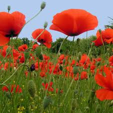 http://mylittleworld.cowblog.fr/images/coquelicots.jpg